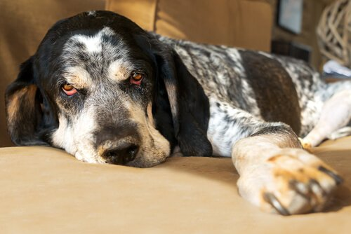 Un cane anziano con gli occhi rossi sdraiato