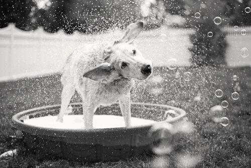 Cane si scrolla l'acqua di dosso