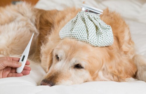 Il cane ha la febbre? Ecco come saperlo e curarla