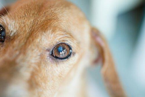 Cane con cataratta visto da vicino