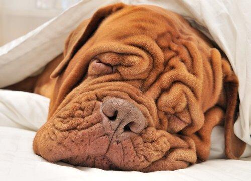 Cane con le rughe dorme