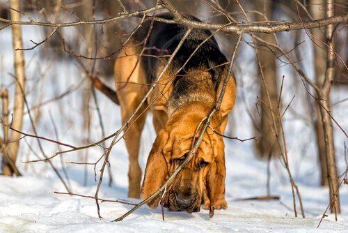 Cane di sant'uberto odora il suolo innevato