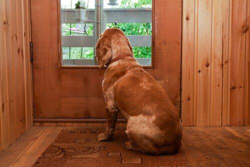 Cane aspetta padrone guardando dalla finestra