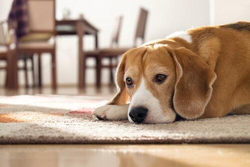 Quanto tempo può passare un cane da solo?