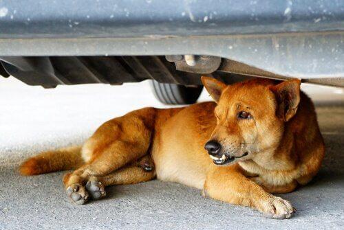 Cane sdraiato sotto un'auto