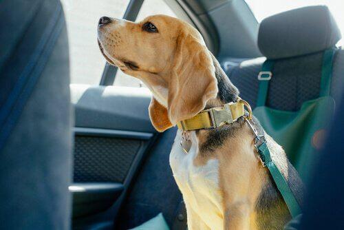 Beagle seduto nel posteriore di un'auto con la cintura