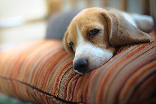 Cane sonnecchia con la testa sul cuscino