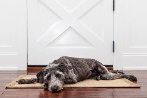 Cane sullo zerbino aspetta davanti alla porta
