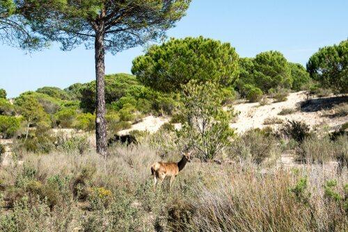 Cerbiatto pascola nel parco di Doñana