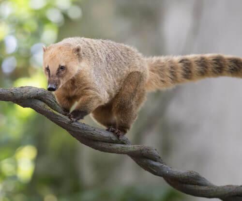 Tipi di coati: conosciamo meglio questo simpatico mammifero