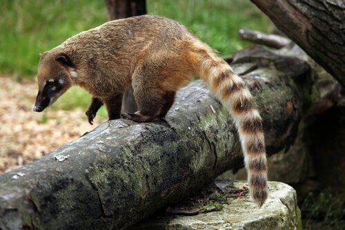 un coati con la coda anellata su un tronco