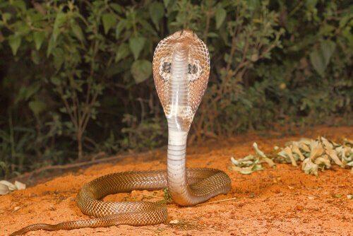 Cobra indiano dritto in posa d'attacco