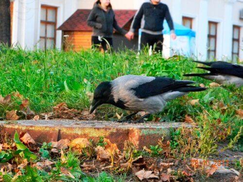 Si può tenere un corvo come animale domestico?