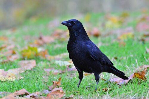 un corvo nero in piedi su un prato