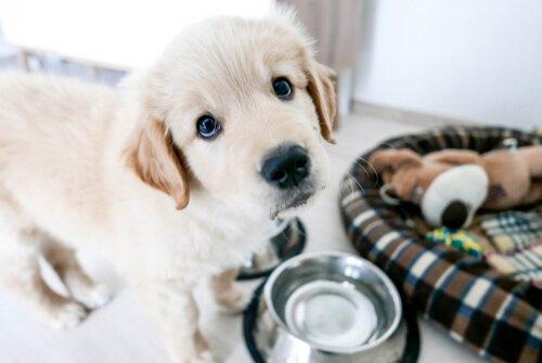 Cucciolo bianco accanto a ciotola e cuccia