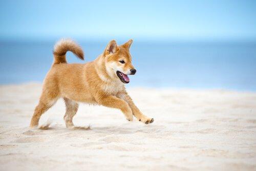 un cucciolo di Shiba Inu corre sulla sabbia