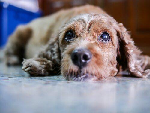Sintomi e cura della cataratta nei cani