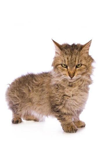 un cucciolo di gatto Skookum su sfondo bianco