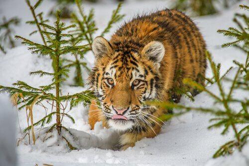 Cucciolo di tigre siberiana nella neve