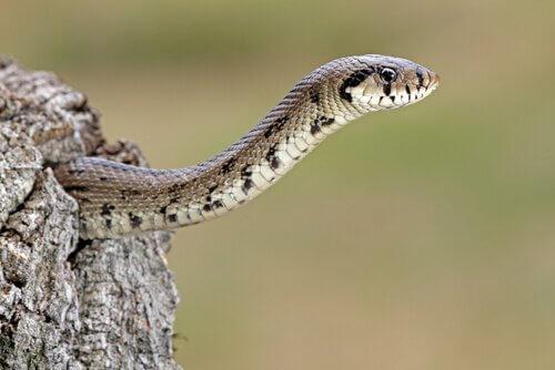 Serpente sbuca da una roccia