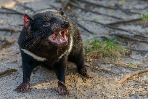 La fauna della Tasmania