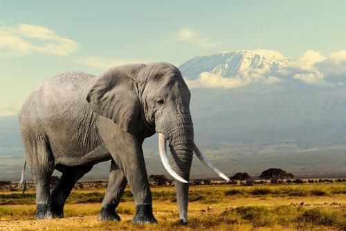Elefante cammina su erba secca