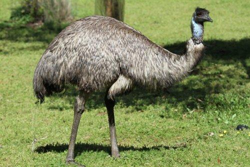 un emù di profilo sul prato visto da vicino