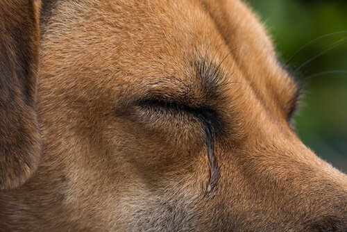 Cosa provoca la lacrimazione nei cani?