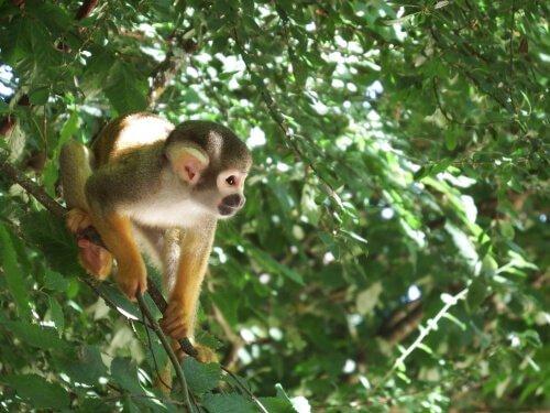 Scimmia scoiattolo tra le fronde degli alberi
