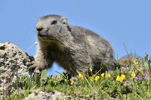 Marmotta alpina tra fauna dei Pirenei
