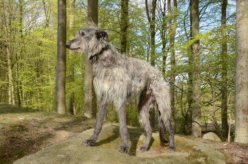 Galgo scozzese peloso grigio in una foresta
