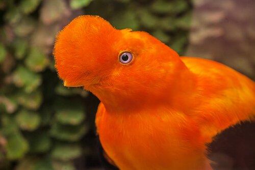 un galletto di roccia della guaiana di colore arancione