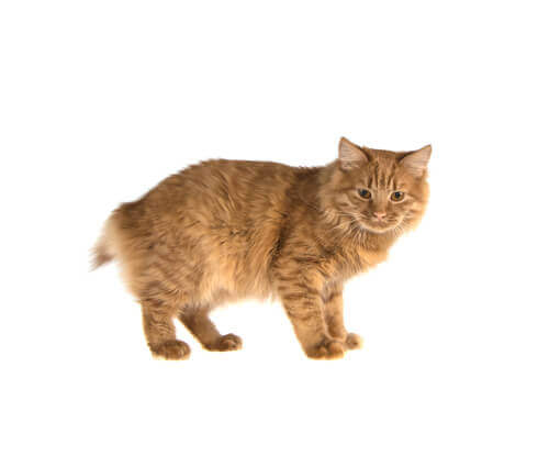 La spina bifida nei gatti