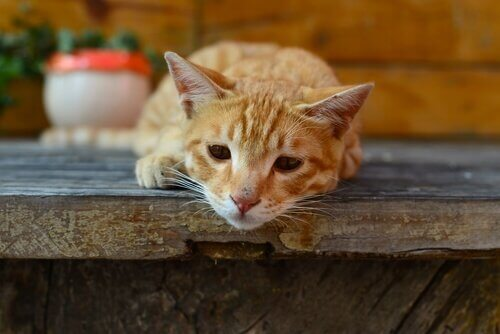 Giardiasi nei gatti: cause di contagio e sintomi