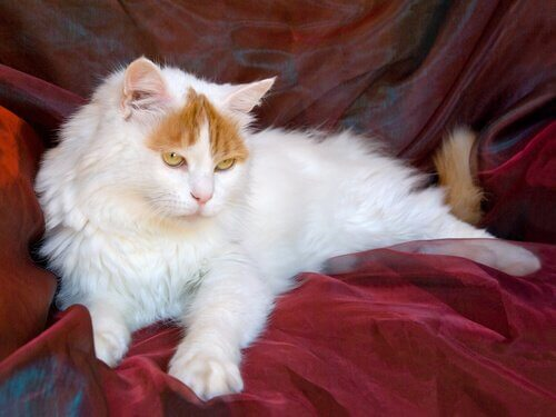 Turco Van, il gatto che nuota