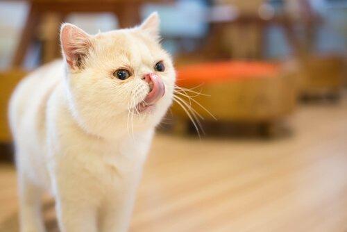 Qual è la migliore alimentazione per i gatti a pelo corto?