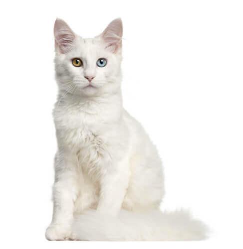 un gatto bianco con occhi di colore diverso