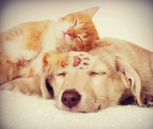 Gatto dorme con la testa su quella del suo amico cane