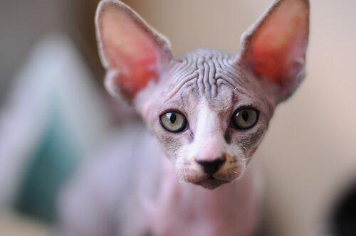 Quali sono le cure speciali del gatto egiziano senza peli?