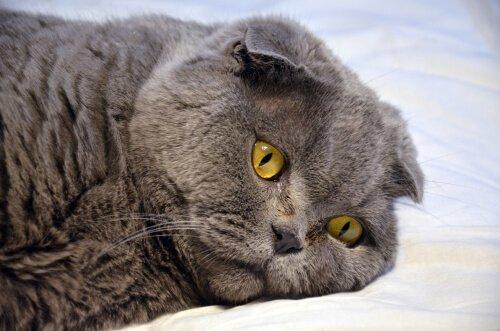 Gatto grigio disteso