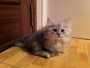 Gatto Napoleone, un gattino dolce dalle zampe corte