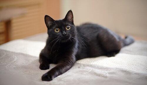 un gatto nero sdraiato guarda in alto