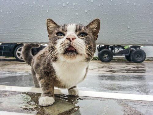 L'organo vomeronasale dei gatti