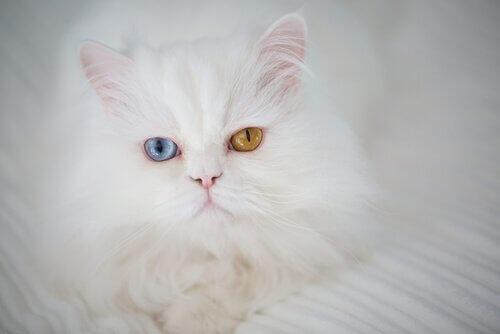 un gatto persiano bianco con eterocromia