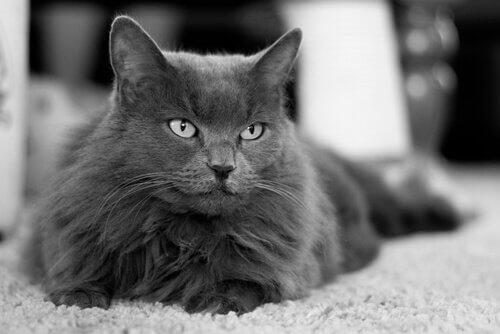 Gatto persiano in una foto in bianco e nero