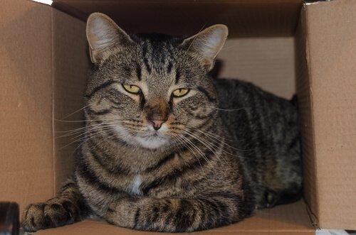 Gatto si riposa dentro una scatola