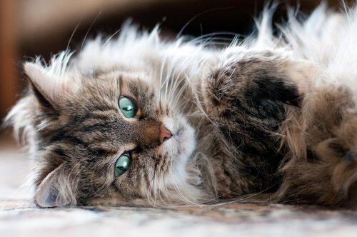 Gatto siberiano sdraiato di lato