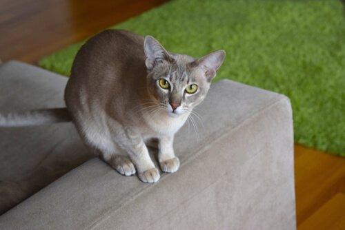Gatto tonkinese sul bracciolo di un divano