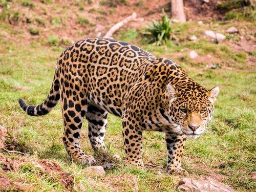 un giaguaro pronto ad attaccare