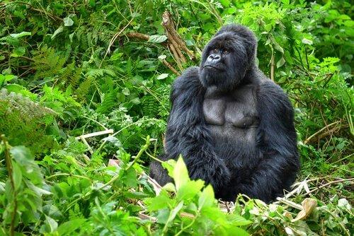un gorilla di montagna muscoloso seduto tra le piante